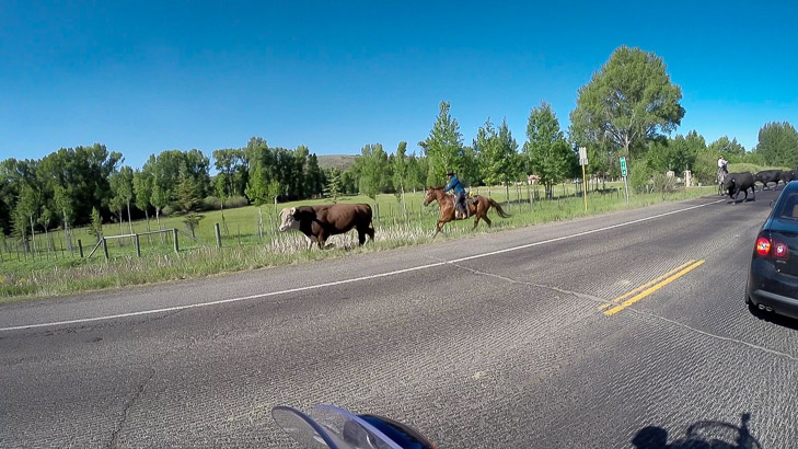 Cattle drive on CO 50 in Gunnison CO